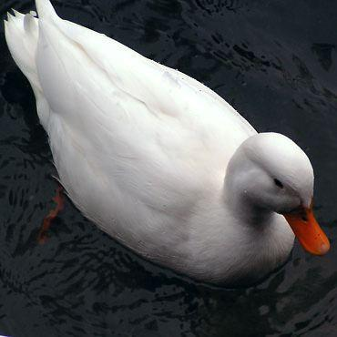 canard-blanc.jpg